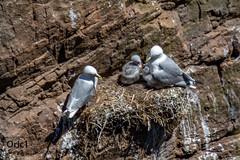 Mouettes tridactyles (Oric1) Tags: bird birding france fréhel ornithologie ornithology oric1france jeanlucmolle bretagne