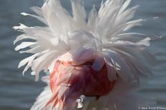 THINK PINK!'. (Elyane11) Tags: smileonsaturday rose plume flammandrose pink think