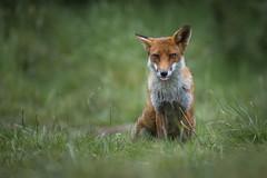 Relaxed ? (Glenn.B) Tags: nature buckinghamshire animal mammal wildlife fox grassland redfox britishfox