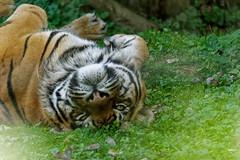 Tigre de Sibérie - Panthera tigris altaica (olivier.amiaud) Tags: 180mm35 sony félin félidé mammifère animal parcdesfélins tiger tigre
