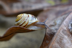 Snail on the move! (suekelly52) Tags: snail foliage snailsaturday