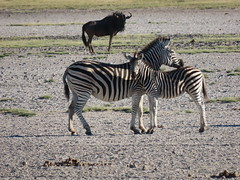 IMG_1383 (*rosamundi*) Tags: zebra wildebeest campkalahari botswana kalaharidesert