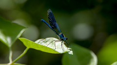 Calopteryx Splendens (Male) (Franck Zumella) Tags: blue red color tree green leave nature colors sphinx butterfly rouge fly branch dragonfly moth vivid vert bleu papillon vol arbre couleur insecte libellule colibri branche leaf feuille geen virgo calopteryx splendens
