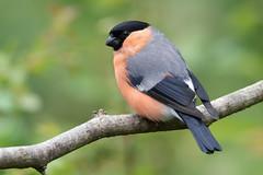 Bullfinch-376 (davidgardiner8) Tags: birds garden finches eastsussex bullfinch