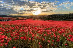 Poppies galore (microwyred) Tags: agriculture beautyinnature birlishtop farm field flower greencolor landscapes landscape landscaped meadow nature nonurbanscene outdoors places plant poppy red ruralscene sky springtime summer tulip wildflowers yellow