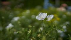 24mm (ivoräber) Tags: 24mm gm sony switzerland schweiz systemkamera swiss flower flowers garden garten heidegg