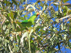 Lathamus discolor 4 (Manning and Hastings Birds) Tags: lake drive cathie tallong australia m barry nsw ralley ausbird ausbirds barrymralley