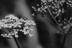 Monochrome Portrait... (FredLiard...) Tags: nature noiretblanc nb insect monochrome blackandwhite bw portrait macro fleurs lausanne fredliard vaud suisse
