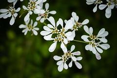 Euphorbia leucocephala (Ben Caledonia) Tags: nouvellecalédonie newcaledonia euphorbiaceae euphorbia