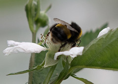 DSC_1856bb (Andrew Wilson 70) Tags: macro bumblebees bumble bumbles bumblebee bee bees insects insect macroinsects andrewwilsonireland