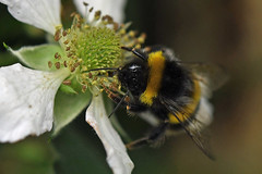 DSC_1854bb (Andrew Wilson 70) Tags: macro bumblebees bumble bumbles bumblebee bee bees insects insect macroinsects andrewwilsonireland