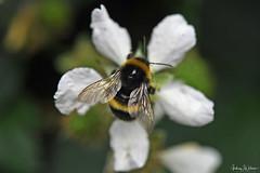 DSC_1849bbb_edited-1 (Andrew Wilson 70) Tags: macro bumblebees bumble bumbles bumblebee bee bees insects insect macroinsects andrewwilsonireland