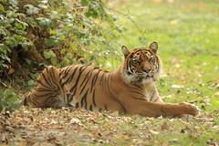 _V1A1606 (skyppi89) Tags: tigre photo animaux sauvage nature photographe animalier naturaliste