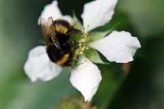 DSC_1845b (Andrew Wilson 70) Tags: macro bumblebees bumble bumbles bumblebee bee bees insects insect macroinsects andrewwilsonireland