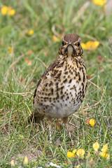 Juvenile Song Thrush ... (Brian Dunning) Tags: juvenile songthrush turdusphilomelos lindisfarne holyisland northumberland canon eos7dmarkii ef100400mmf4556lisiiusm