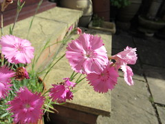 Saturday, 22nd, Facing the sun IMG_0811 (tomylees) Tags: essex morning summer june 2019 22nd saturday garden flower pink dianthus