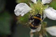 DSC_1852bb (Andrew Wilson 70) Tags: macro bumblebees bumble bumbles bumblebee bee bees insects insect macroinsects andrewwilsonireland