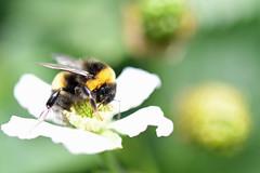 DSC_1841b (Andrew Wilson 70) Tags: macro bumblebees bumble bumbles bumblebee bee bees insects insect macroinsects andrewwilsonireland
