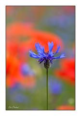 Bleuet (Rémi Marchand) Tags: plantemessicole bleuet fleur centaureacyanus macro printemps spring canoneos5dmarkiii nature