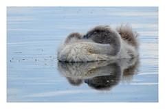 The Sleeping Little Beauty... (M.L Photographie) Tags: nature animal oiseau bird ornitho ornithologie ornithology wild wildlife wildlifephoto wildlifephotography france normandie eure nikon coolpix p900 swan