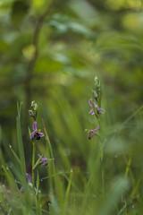 Les abeilles sont de retour ! (bulledenature62) Tags: orchidée ophrysabeille ophrysapifera fleurs portraitdefleurs reflex62 deniscoeurphotographe62 photographenature photographepasdecalais photonature fineart fineratphotography artphoto artfleur hautsdefrance