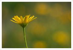 Magico Pentacon 13 (Outlaw Pete 65) Tags: flower macro closeup colours fiore colori nature yellow natura giallo pentacon50mm fujixe3 italia lombardia verde green collebeato