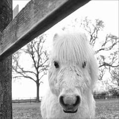 Widget I BW (meniscuslens) Tags: shetland pony horse trust charity rescue buckinghamshire aylesbury princes risborough high wycombe mono monochrome bw bnw fence tree paddock field