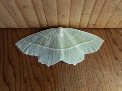 Light Emerald (Baractus) Tags: earlswood westmidlands uk light emerald john oates lakes moth