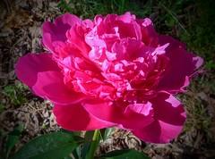 Pink Peony. --  20190621233159~2 (mshnaya ☺) Tags: peony peonies flower flora blossom bloom pink garden nature