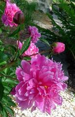 Pink Peonies after Rain. --  20190621233231~2 (mshnaya ☺) Tags: peony peonies flower flora blossom bloom pink garden nature
