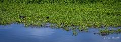 lakeapopka_fb_042217-19 (ccgrin) Tags: alligator animals florida lake lakeapopka lakeapopkawildlifedrive nature panorama reptile waterareas watermanagementareas wildlife