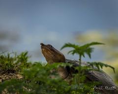 lakeapopka_fb_042217-13 (ccgrin) Tags: animals florida lake lakeapopka lakeapopkawildlifedrive nature reptile softshellturtle turtle waterareas watermanagementareas wildlife