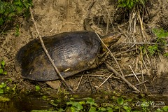 lakeapopka_fb_042217-10 (ccgrin) Tags: animals florida lake lakeapopka lakeapopkawildlifedrive nature reptile softshellturtle turtle waterareas watermanagementareas wildlife
