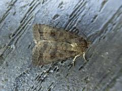 Mottled Rustic (Baractus) Tags: mottled rustic john oates lakes moth earlswood westmidlands uk