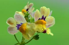 Nemesia-Nesia Sunshine (Astral Will) Tags: flower plant nemesia nemesianesia nemesianesiasunshine summer green waterdroplets macro