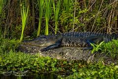 lakeapopka_fb_011417-2 (ccgrin) Tags: 2017 alligator animal apopka florida lakeapopkawildlifedrive reptile waterareas watermanagementareas wildlife