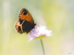 Ocelle rubanée (Eric Leroy Olympus Passion OMD & Pen) Tags: papillon lépidoptère olympus em1 x omd omdem1x zuiko 300f4 40150mc14 300mmf4pro 40150pro mc14 insectes wildlife butterfly wwwolympuspassionfr