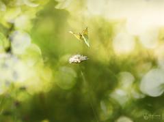 Citron (Eric Leroy Olympus Passion OMD & Pen) Tags: papillon lépidoptère olympus em1 x omd omdem1x zuiko 40150mc14 40150pro mc14 insectes wildlife butterfly wwwolympuspassionfr