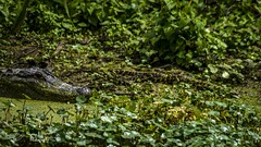 lakeapopka_fb_031217-66 (ccgrin) Tags: 2017 alligator animal florida lake lakeapopka lakeapopkawildlifedrive reptile waterareas watermanagementareas wildlife