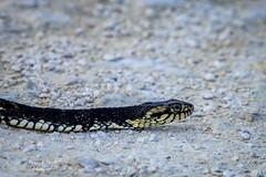 lakeapopka_fb_011417-4 (ccgrin) Tags: 2017 animal apopka bandedwatersnake colubridsnakefamily florida lakeapopkawildlifedrive reptile snake waterareas watermanagementareas wildlife