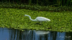apopka_fb_042217-62 (ccgrin) Tags: avian bird egret fishingbird florida greatwhiteegret heronfamily lake lakeapopka lakeapopkawildlifedrive shorebird wadingbird waterareas waterbird watermanagementareas