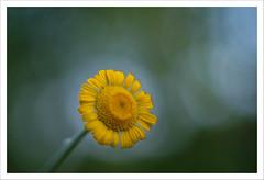 Magico Pentacon 14 (Outlaw Pete 65) Tags: macro closeup fiore flower natura nature colori colours giallo yellow verde green bianco white fujixe3 pentacon50mm brescia lombardia italia