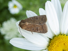 Uncertain (Baractus) Tags: earlswood westmidlands uk john oates lakes moth rustic uncertain