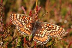 Marsh Fritillary (jon lees) Tags: murloughnnr countydown dunes assi wildlife marshfritillary butterfly insect invertebrate