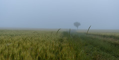 the lonely tree (canalesjacinto58) Tags: niebla fog paisaje tree natural agricultura