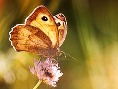 Amaryllis (Eric Leroy Olympus Passion OMD & Pen) Tags: papillon lépidoptère olympus em1 x omd omdem1x zuiko 300f4 300mmf4pro insectes wildlife butterfly wwwolympuspassionfr