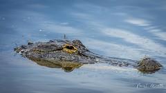 lakeapopka_fb_042217-23 (ccgrin) Tags: alligator animals florida lake lakeapopka lakeapopkawildlifedrive nature reptile waterareas watermanagementareas wildlife