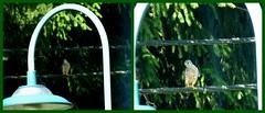 Mein erster Falke ! / My first hawk ! (ursula.valtiner) Tags: vogel bird falke hawk falcon wald forest flatz niederösterreich loweraustria austria autriche österreich