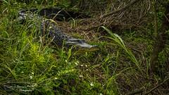 lakeapopka_fb_031217-64 (ccgrin) Tags: 2017 alligator animal florida lake lakeapopka lakeapopkawildlifedrive reptile waterareas watermanagementareas wildlife