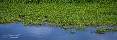 apopka_fb_042217-1 (ccgrin) Tags: 2017 alligator animal florida lake lakeapopka lakeapopkawildlifedrive panorama reptile waterareas watermanagementareas wildlife